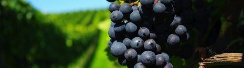 ripe-grapes-1920x1200-wallpaper-racimo-de-uvas-en-el-viñedo-1024x285